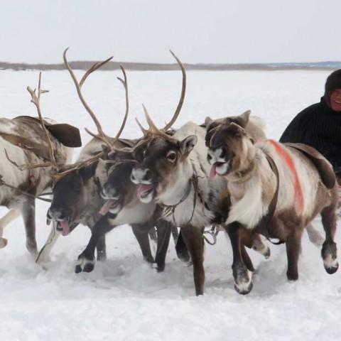 Aksarka Reindeer Races