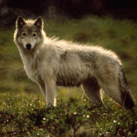 Arctic Wolf Back River