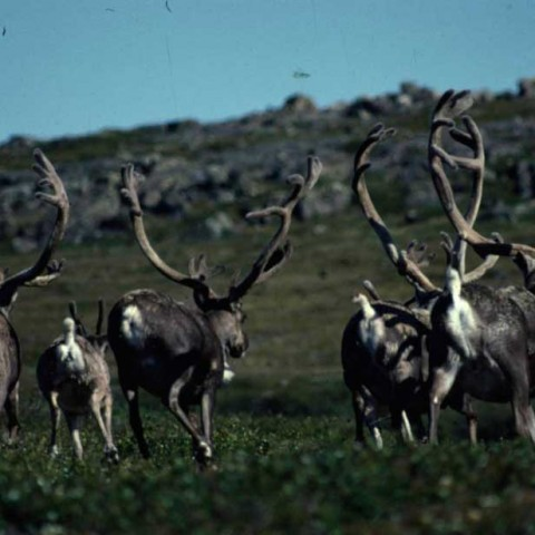 Coppermine Caribou