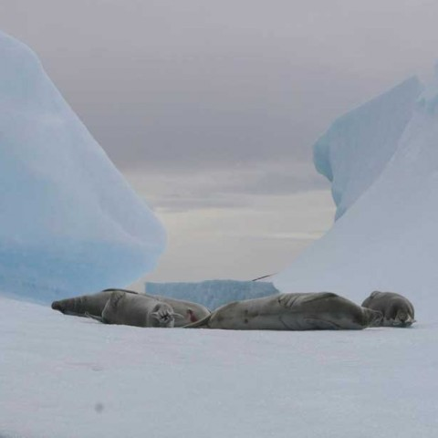 Crabeater Seal Antarctica