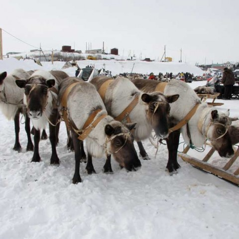 Hitched Up Aksarka Reindeer Race