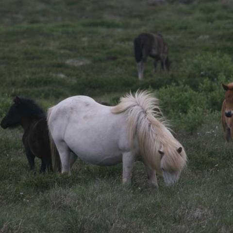 Icelandic Horses Quiet
