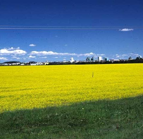 Rapeseed Near Grand Prairie-Alberta