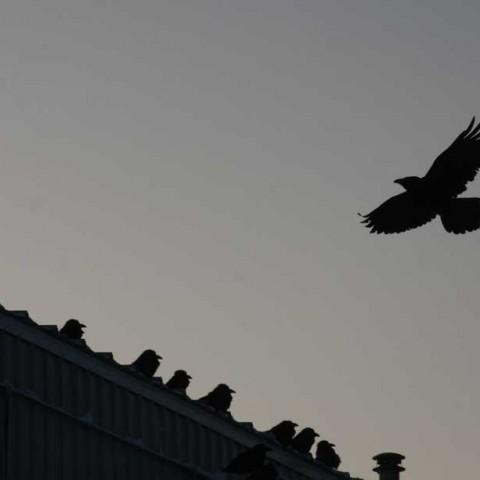Ravens Kotzebue