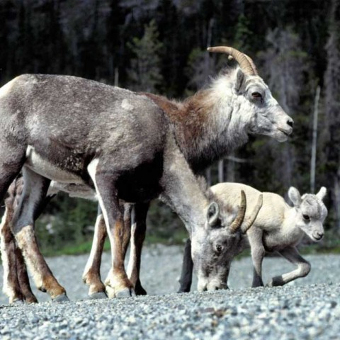 Stone Sheep Alaska